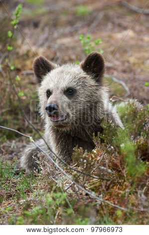 Cute Little Brown Bear