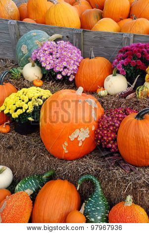 Pumpkins, gourds and mums autumn display