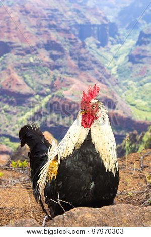 A feral chicken stands at the base of colorful Waimea Canyon in Kauai Hawaii
