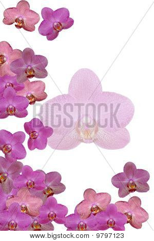 Orchid - Background