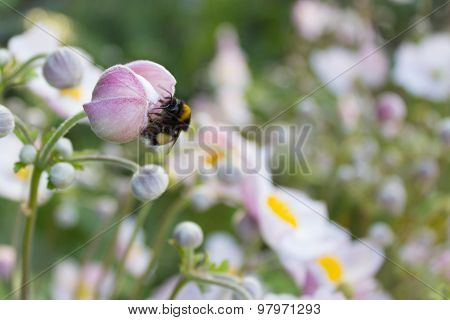 bumblebee , bee on flower , white flowers in background