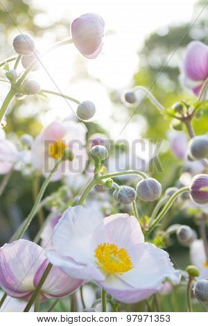 summer flower garden , white, pink blossom in sunlight