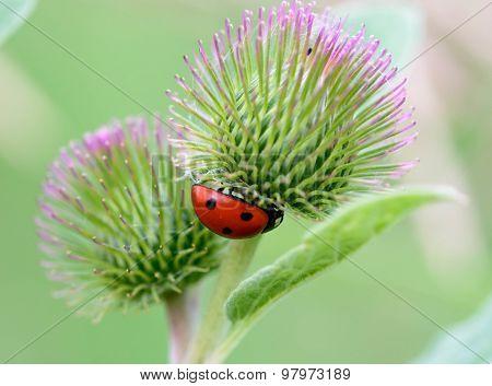 Ladybug on Burdock