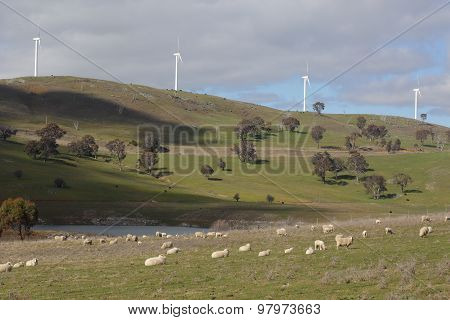 Sheep Grazing At Carcoar Wind Farm