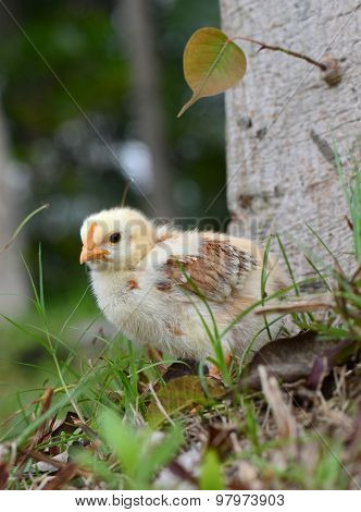 Little chicken in the grass on a farm