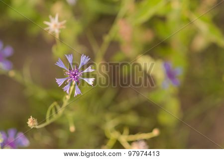 Purple Knapweed Flower