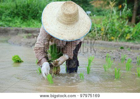 Transplant Rice Seedlings