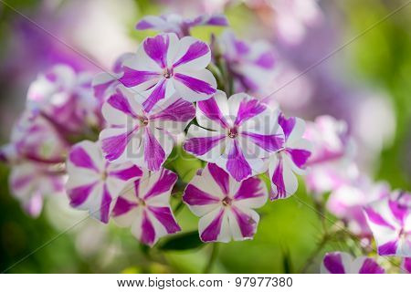Rare Color Motley Pink With White Strips Phlox Paniculata (garden Phlox) In Bloom