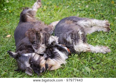 Two Black And Silver Miniature Schnauzer Dogs Laying Playful On The Grass