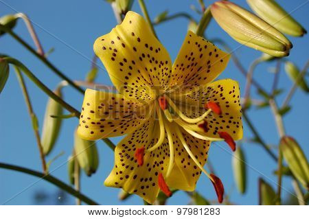 Yellow Lily on blue sky background.