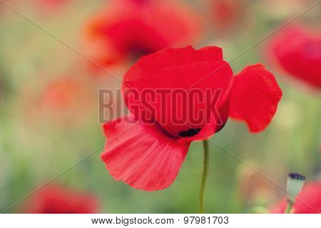 Macro Image Of Red Poppy Flowers, With Small Depth Of Field