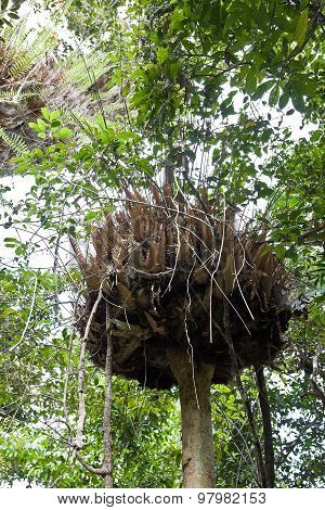 Giant bird nest in rainforest