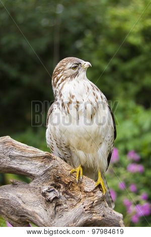 Buzzard On A Branch