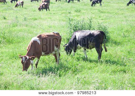 Cows grazing in green meadow.