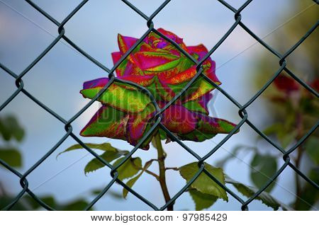 Rose Imprisoned Multicor
