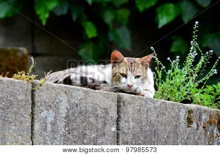 Street Cat Looks Down From A Wall