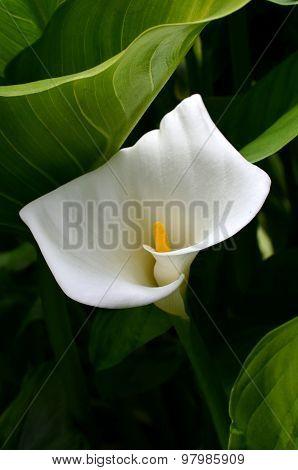 White Arum Lily In The Garden