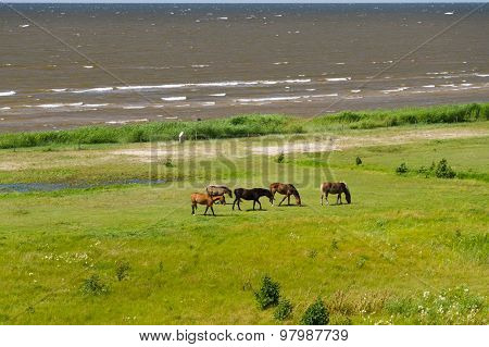 Five Horses Grazing On The Green Lush Meadow Near The Sea, Overlook View