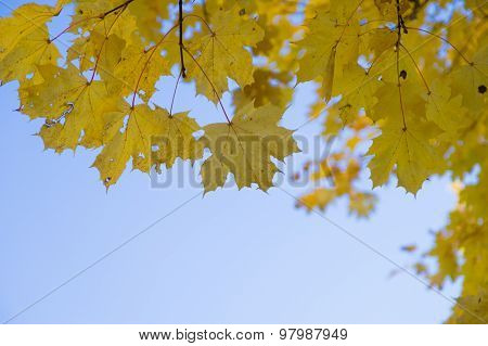 Fall Yellow Maple Leaves Against Blue Sky, Autumn Background