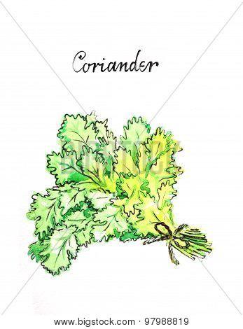 Watercolor Coriander