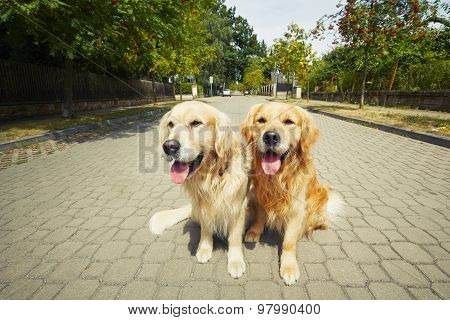 Two Golden Retriever Dogs