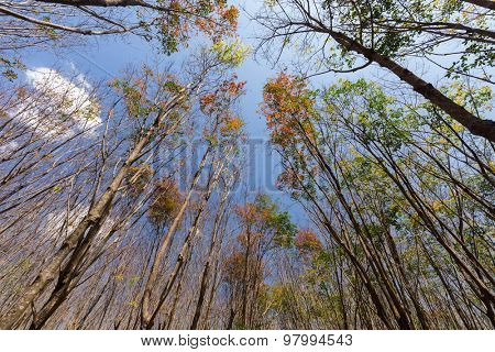 Dynamic view of a rubber tree plantation in winter, Ko Lanta island, Thailand