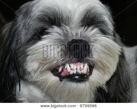 Unhappy Lhasa Apso