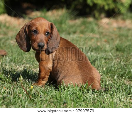 Adorable Dachshund Puppy Sitting In The Garden