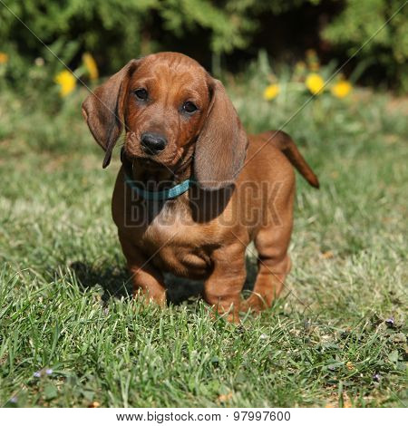 Dachshund Puppy In The Garden