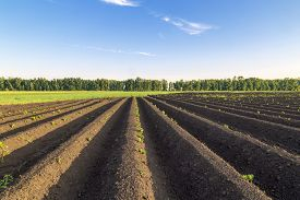 pic of potato-field  - ploughed land planting potatoes in a farmer - JPG