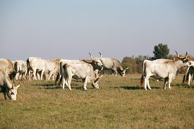 image of calf cow  - Hungarian gray cattle cows with calves grazing on pasture summertime - JPG