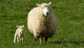 pic of baby sheep  - Mother sheep and her lamb looks at the camera in a sheep farm station in New Zealand - JPG