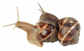 image of hermaphrodite  - Two Slugs Isolated On White Background - JPG