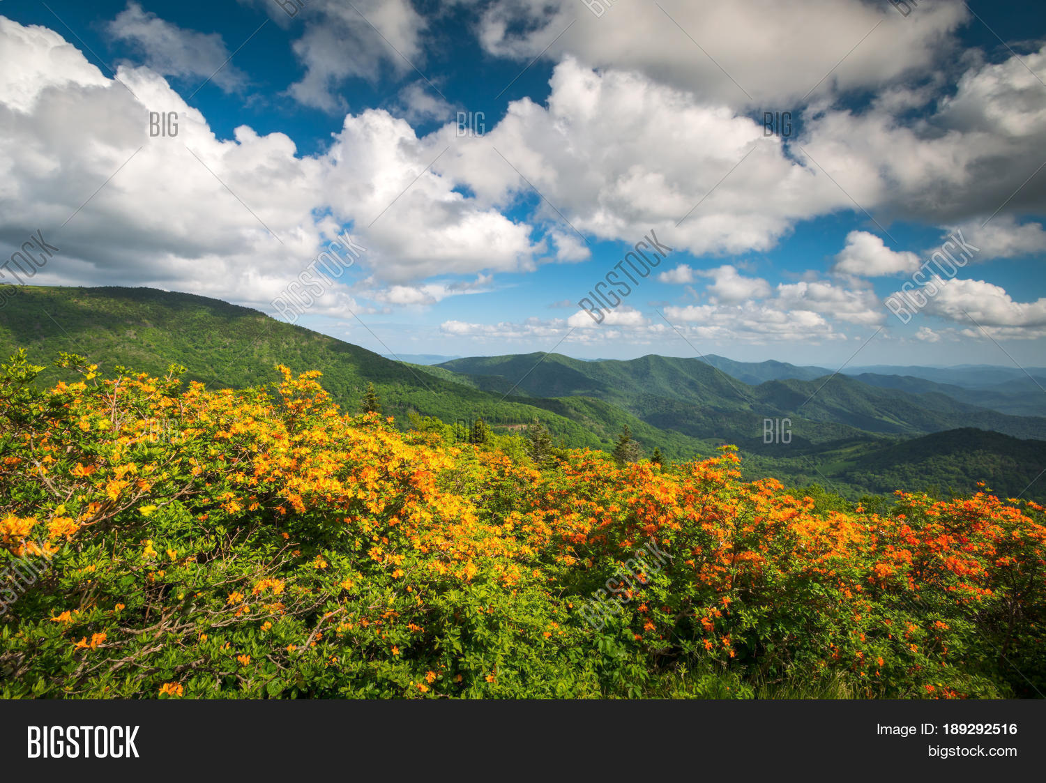Mountain flame azalea spring flowers scenic landscape along mountain flame azalea spring flowers scenic landscape along appalachian trail in north carolina taken in the dhlflorist Image collections