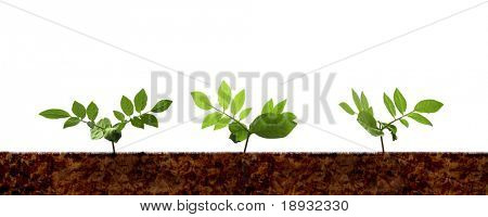 three green plant shoots, isolated