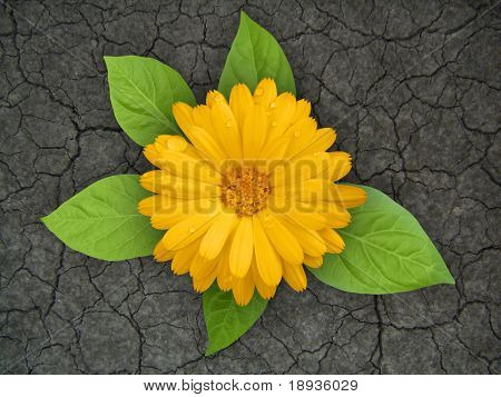 Yellow flower in droughty ground