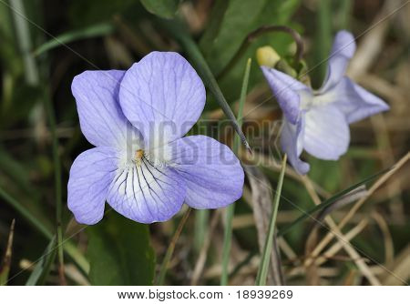Fen Violet