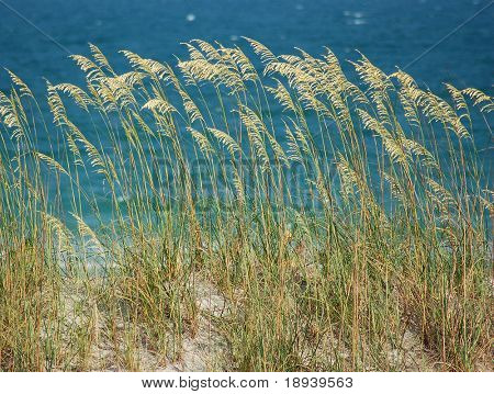 Sea Oats on the sand dunes of North Carolina's Wrightsville Beach