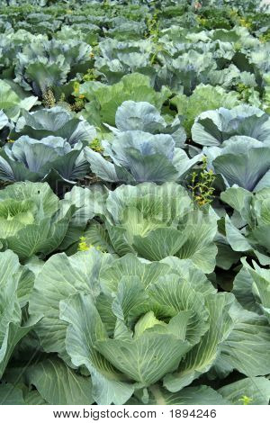 Cabbage Rows