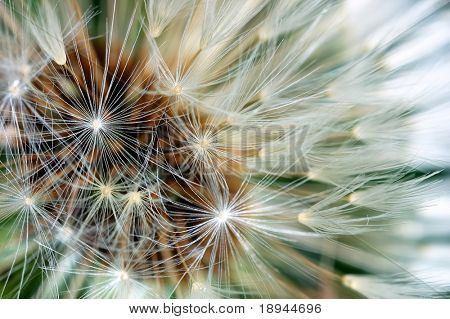 Dandelion bracts close-up: is a globe of fine filaments that are usually distributed by wind