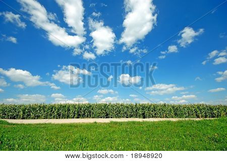Fresh green corn field on bright blue sunny sky background
