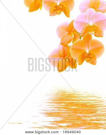 Orange and purple orchid reflects in water - isolated on white