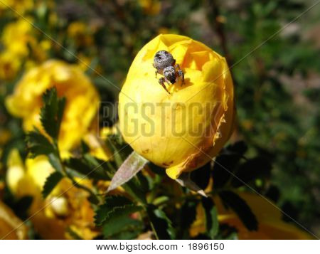 Rose Bud, Wild Yellow, with spider atop