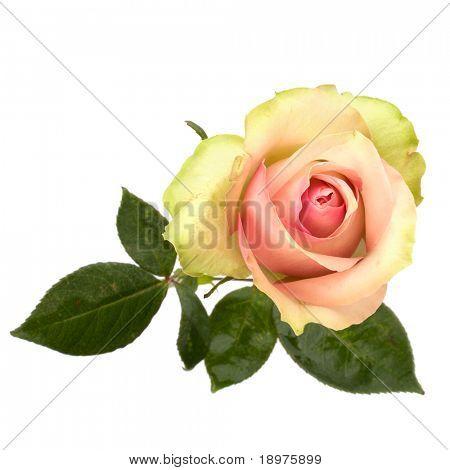 Rosa hermosa aislado sobre fondo blanco