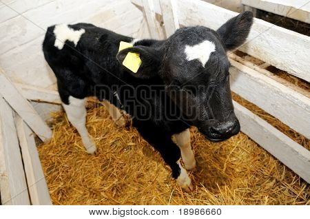 little black white cow calf in box with hay and straw