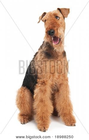 One sitting Black brown Airedale Terrier dog isolated on white