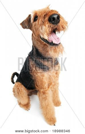 One sitting Black brown Airedale Terrier dog isolated on white at wide angle