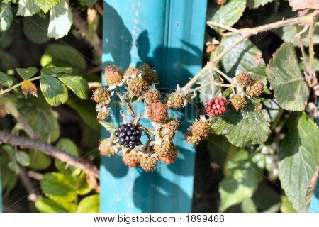 Blackberries Starting To Ripen