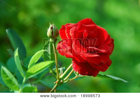 Romantic rose on green background.