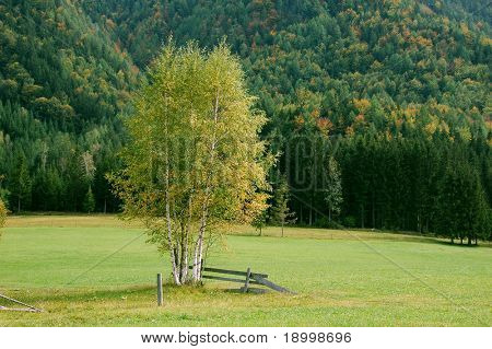 Birch tree in fall with forrest background.
